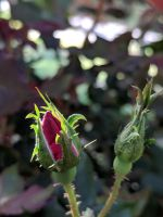 A Rose's bud in Light by Naturevulpex