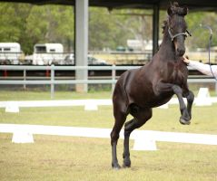 FR young partbred rearing by Chunga-Stock