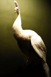 Leucistic Peacock by Meddling-With-Nature