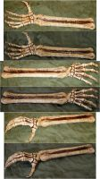 Skeletal Arm Bones + Hand by FantasyStock