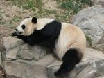 Mei Xiang Napping by magikwolf