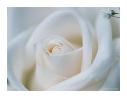 Creamy White Rose - Wallpaper by donia