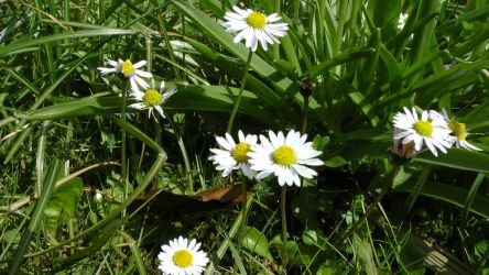 Daisys by dragonfire70