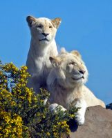 White Lions by doublejaybear