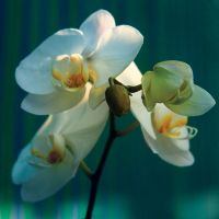 THE Orchid by Campanile