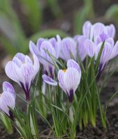 purple crocus by Bastet-mrr