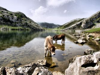 Cows in Lakes of Covadonga, Asturias by vmribeiro