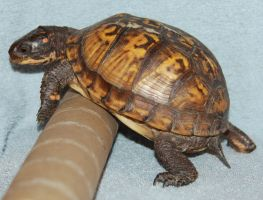 Turtle Stock ,, of 36 by Lovely-DreamCatcher