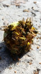 Wasps by jhubert