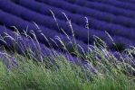Lavander and Hay by organicvision