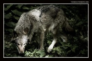 Canis lupus by tomba76