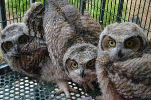 Baby Great Horned Owls by Tellequin