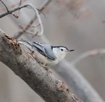 white-breasted nuthatch by bydandphotography