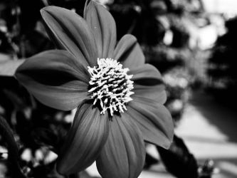 Flower in black and white by sandrability