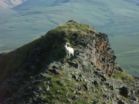 Alaskan Dall Sheep by celticscorpio