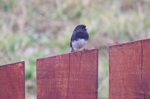 blacked-eyed Junco  by flocksofseagulls