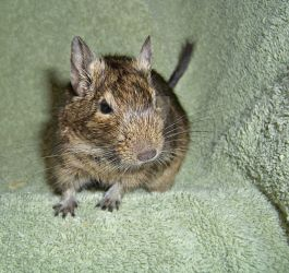 Diamond The Degu by Lovely-DreamCatcher