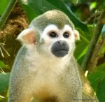 Portrait of a squirrel monkey by PotionsTeddy