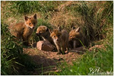 Fox Family by Salvas