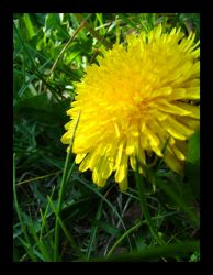 sow thistle... by pyzafive
