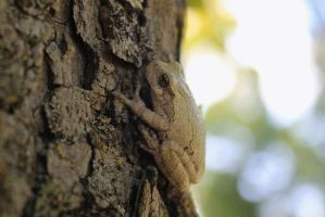 Tennessee Gray Tree Frog by Crystal-Marine
