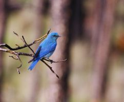 Mountain Bluebird by MuzunguMbaya