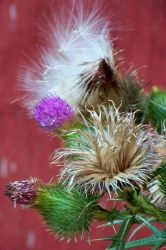 Thistle Flowers V by MadGardens