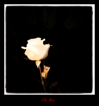 White Rose in the dark by sintha
