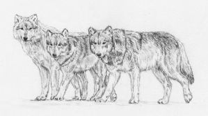 wolves by Embers