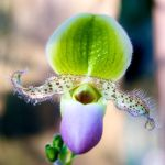 Orchid with a mustache by Vironevaeh