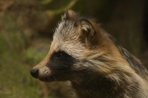 Raccoon dog by DarkTaraArts