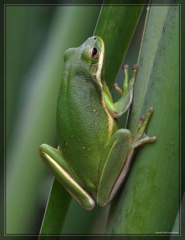 Green Tree Frog 40D0012647 by Cristian-M