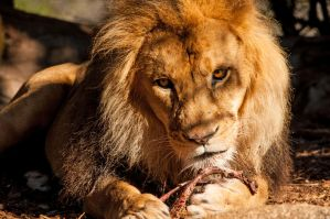 Lion Feeding by daniellepowell82