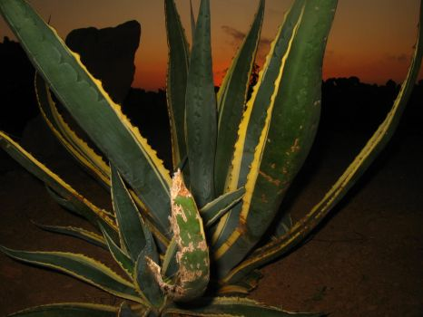 Sunset + Agave by Nicosubnormale