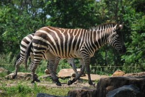 zebra 3.2 by meihua-stock