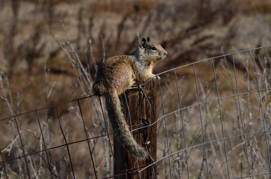 Ground Squirrel on Duty by prancingdeer722
