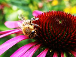 Bee on Echinacea by Memoe74