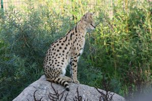 Serval by Tribolonotus