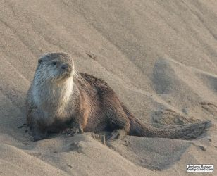 Sandbank with otter by jaffa-tamarin
