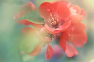 Chaenomeles japonica by Obsessed-by