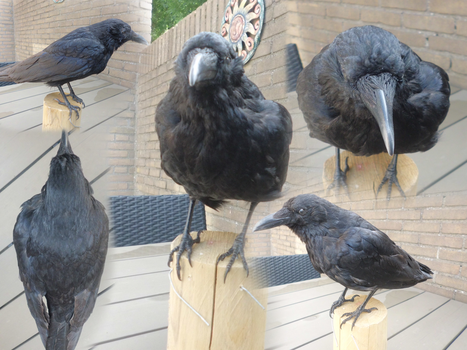 Vulture Collection: Carrion Crow Taxidermy by Lynnzl