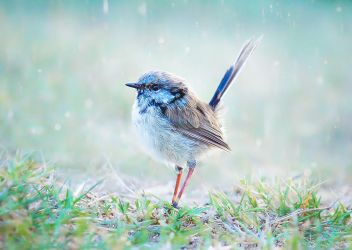 Baby Blue Wren by Whimsical-Dreams