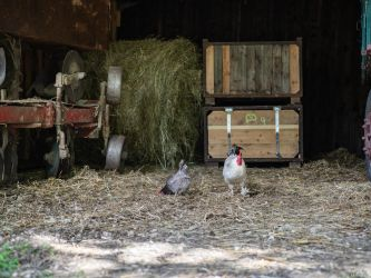 Hen and rooster by Merkosh