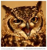 African Spotted Eagle Owl by In-the-picture