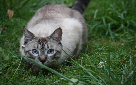 MIMO The Cat by Corwins