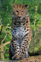 amur leopard by Sam2103