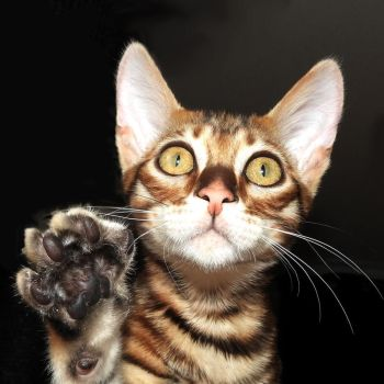 Frodo the Toyger by ToygerCat
