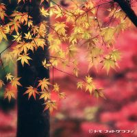 Maple by WindyLife