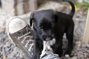 Puppy playing with shoelace by steeph-k