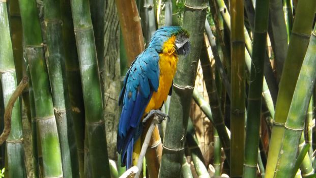 Blue and Gold Macaw by StarBoltMLP